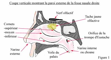 Le nez et son fonctionnement biologique for Interieur du nez